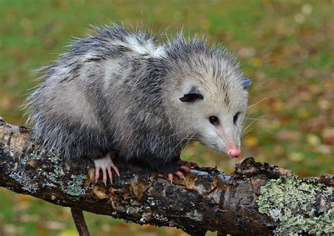 Home Design Basics by Virginia Opossum Frequent Questions Welcome Wildlife