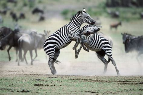 animal fights  pics izismilecom