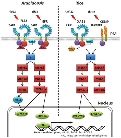 pattern recognition receptor synthesis frontiers protein phosphorylation in plant immunity
