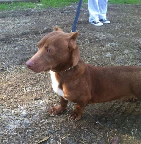 pitbull wiener rami the pitbull dachshund is the most adorably crossbreed
