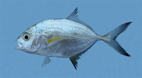 www fish bluefin trevally mexico fish flora fauna