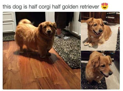 half golden retriever die besten 25 corgi golden retriever ideen auf corgi golden retriever mix