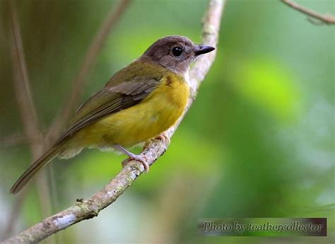 oriental bird club image database yellow bellied