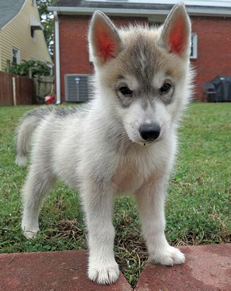 husky doodle puppies for sale image gallery husky doodle dogs
