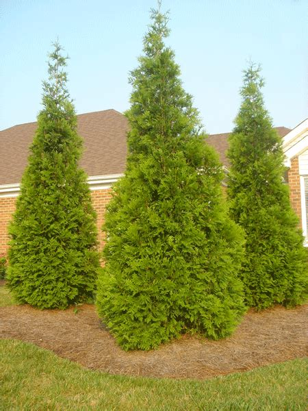 thuja green giant evergreen trees for sale fast growing