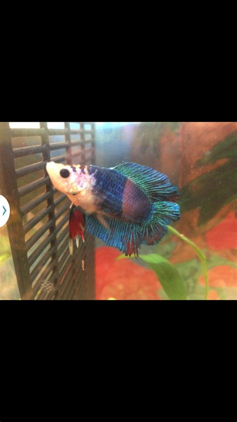 betta fish changing color my betta fish changed color drastically is something