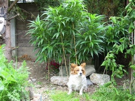 marijuana and dogs stop cats and dogs harming your marijuana plants now
