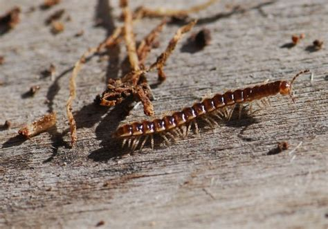 how many legs do bed bugs have bug of the week millipedes growing with science blog
