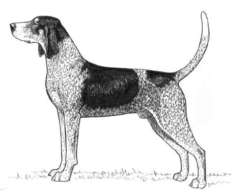 coloring pages of coon dogs bluetick coonhound at coondogs org a coon dog and coon