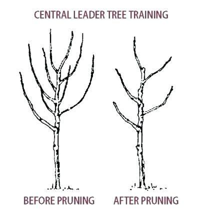 Fruit Tree Pruning Diagram