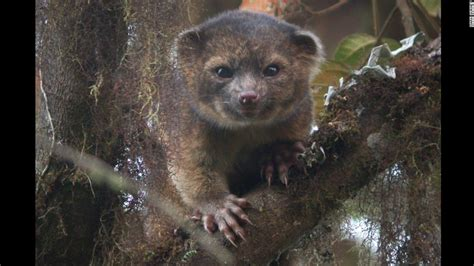animals discovery olinguito the newest rare mammal species discovery cnn