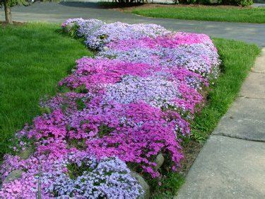 creeping phlox as a ground cover for the bed on the west