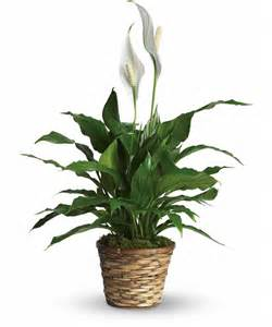 peace lily low light indoor plants you can decorate with
