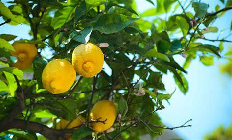 limoni in vaso limoni in vaso come curarli tutti i segreti per una