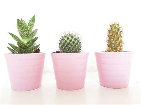 cactus  pink pots cacti succulents cactus planting flowers