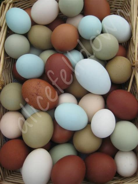egg color chart black copper marans egg color chart search