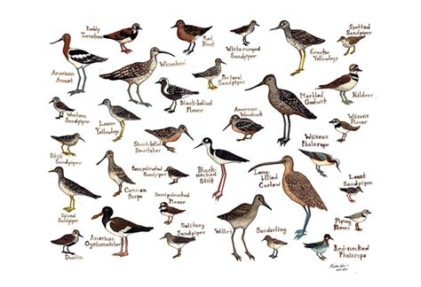 shorebirds bird field guide style watercolor painting print