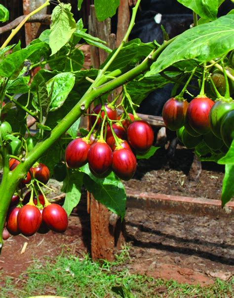 tomato tree earn more from tree tomato production the organic farmer