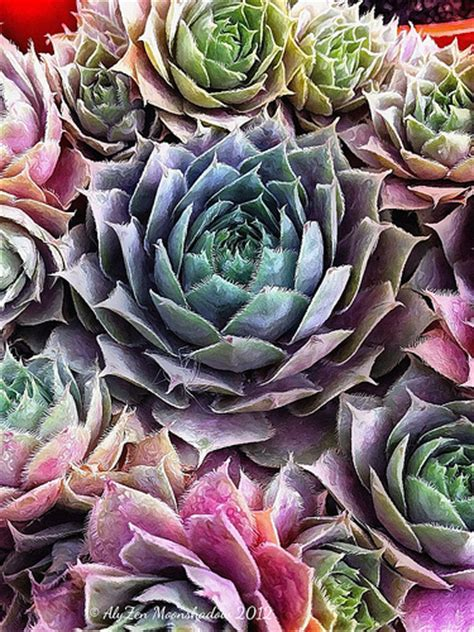 flickriver searching for photos matching colorful succulents