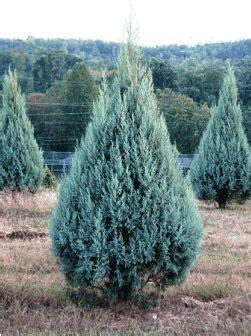 decorated blue arizona cypress market bulletin consumer q a o tree