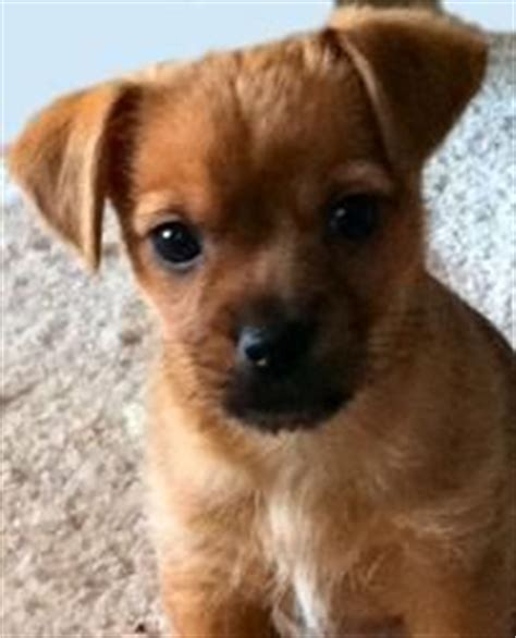 how much does a yorkie chihuahua mix cost about dachshund chihuahua mix dogs in our photo