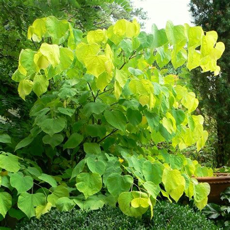 cercis canadensis hearts of gold buy eastern redbud tree redbud hearts of gold redbud
