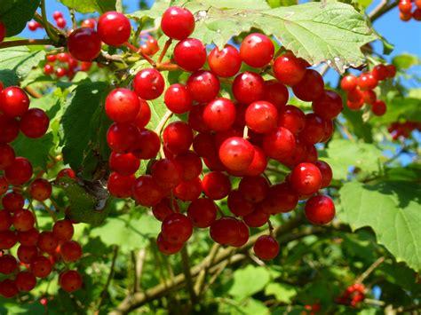 Bilder Roten by Rote Beeren Foto Bild Pflanzen Pilze Flechten
