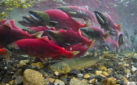 dolly varden among sockeye salmon flickr photo sharing