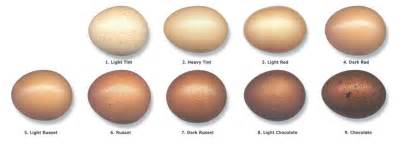 color of eggs barnevelder brown egg laying cackle hatchery