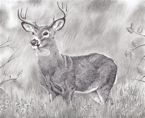 Whitetail Deer Drawing by Samantha Howell Whitetail Buck Drawings