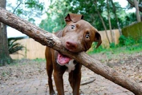 can dogs eat sticks 10 dogs whose big sticks endearingly complicate a simple of fetch barkpost