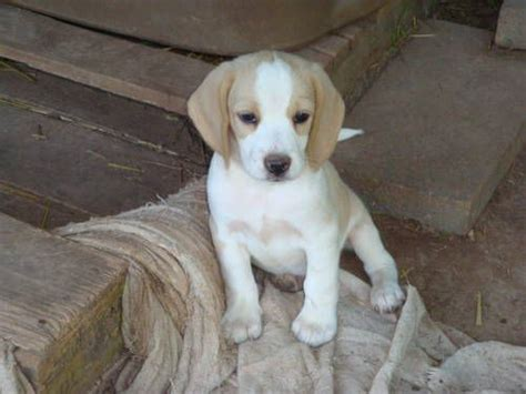 lemon beagle puppies 17 best ideas about lemon beagle on beagle puppies lemon beagle puppy and