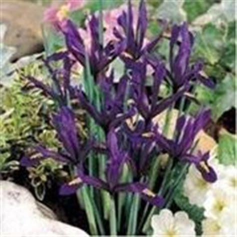 iris linguaggio dei fiori significato iris linguaggio dei fiori
