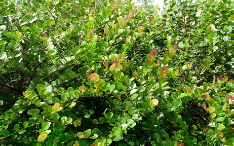 red tipped cocoplum shrub for sale north fort myers