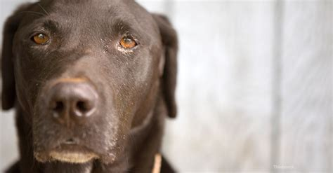 sepsis in dogs septic shock in dogs
