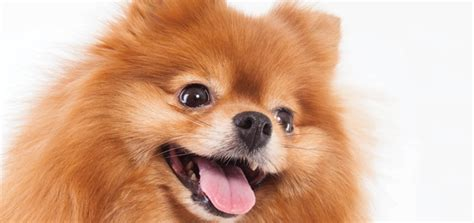 pomeranian sounds the pomeranian modern magazine
