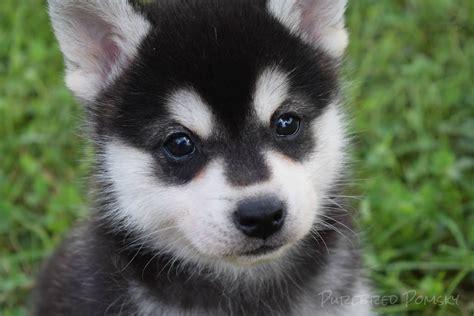 buy pomsky puppies trio of pomsky puppies