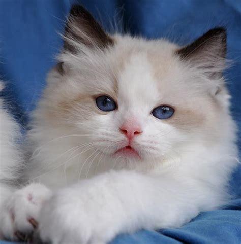 ragdoll cat colors ragdoll cats photo gallery bluegem ragdolls ragdoll