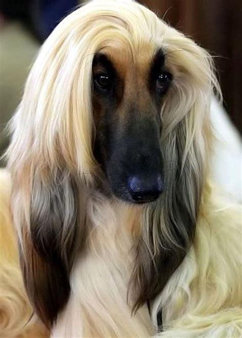 cameron diaz dog cameron diaz van de robega afghan hound pinterest