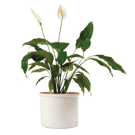 lifestyle air purifying plants elle decoration uk