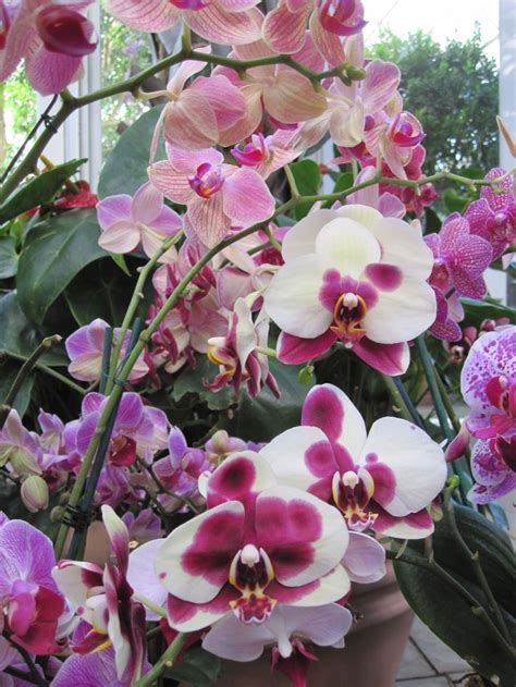 how to get your orchid to rebloom les fleurs
