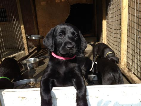 black lab puppies for sale in black lab puppies for sale welshpool powys pets4homes