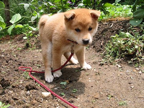 pooping puppy pooping puppy picture shio the shiba
