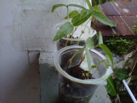 Teh Hijau Satu Kardus yolandd pongayouw pertumbuhan biji kacang hijau