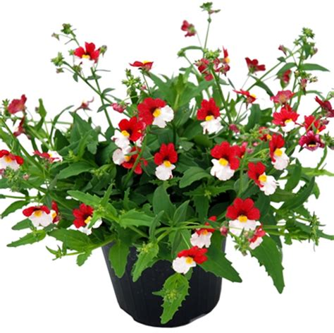 piante da terrazzo pieno sole piante vaso pieno sole giardinaggio urbano coltivare sul