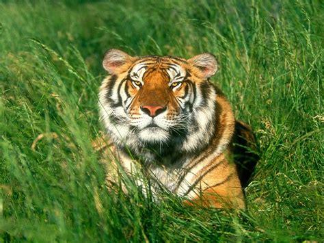 imagenes geniales de tigres imagenes de tigres para fondos de pantalla im 225 genes