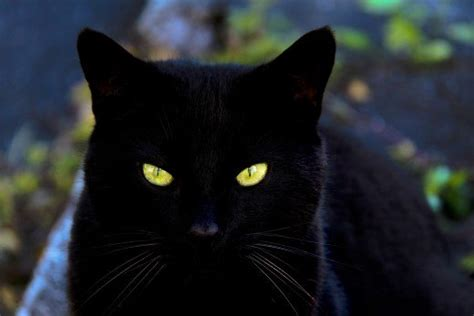 black cat what are the best names for black cats pethelpful