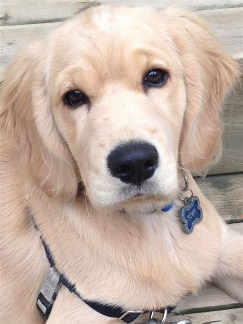 comfort golden retriever breeders my lil comfort retriever puppies pinterest