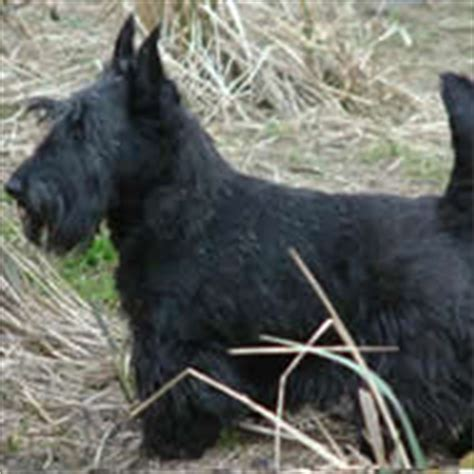 Do Scottish Terriers Shed by Scottish Terrier Breeds Dogbreedworld