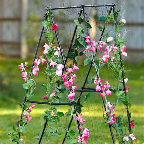 Sweet Pea Planters by Sweet Pea Of The Annuals Suttons Gardening Grow How